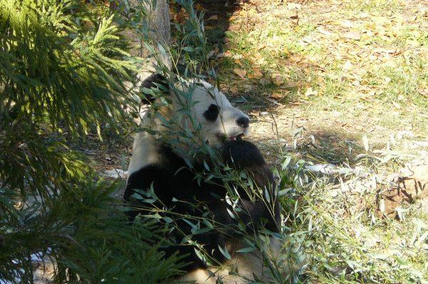 Photo of panda eating bamboo