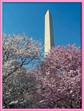 photo of cherry blossoms and Washington Monument